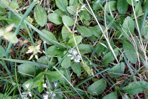 Veronica officinalis - leaves