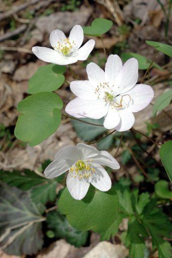 Thalictrum thalictroides