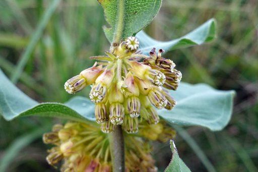Asclepias viridiflora