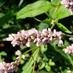 Persicaria pensylvanica