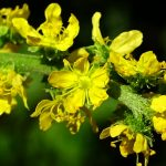 Agrimonia parviflora