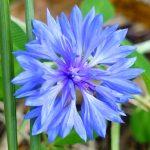 Centaurea cyanus
