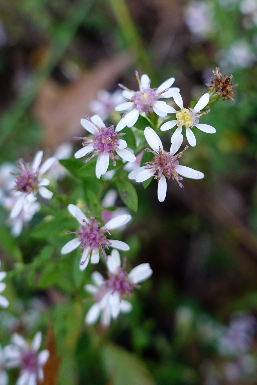 symphyotrichum lateriflorum wildflowers of the national