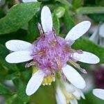 Symphyotrichum lateriflorum