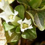 Obolaria virginica