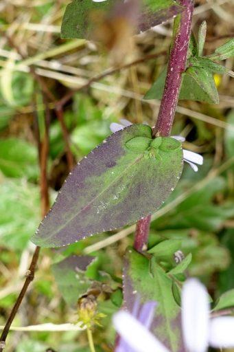 Symphyotrichum patens - leaves