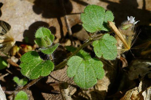 Veronica hederifolia - leaves