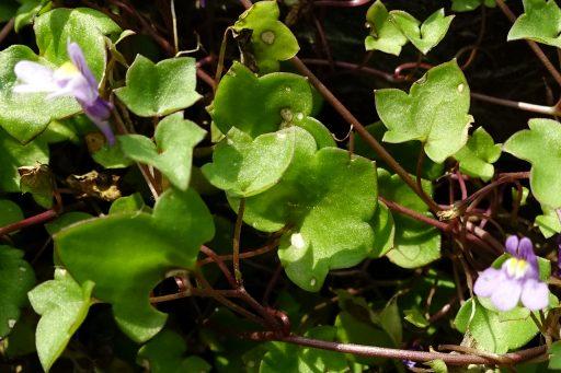 Cymbalaria muralis - leaves