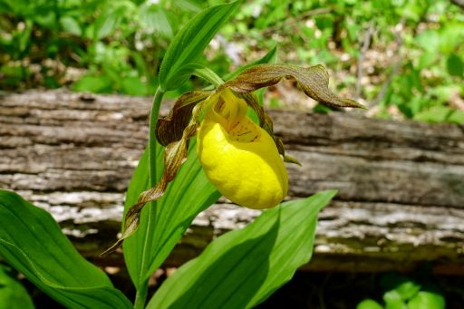 Cypripedium parviflorum