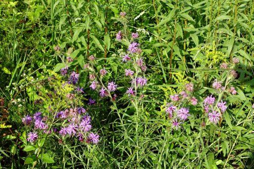 Liatris squarrosa - plants